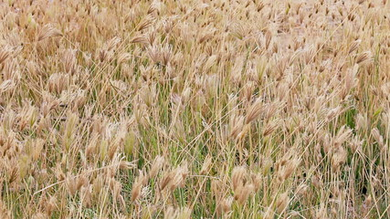 Dry prairie grass with seeds swaying in the wind