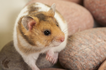 Young syrian hamster on stones.