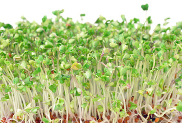 Young green broccoli sprouts for salads and healthy dishes