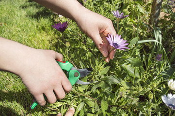 pruning a flower with focus on pruning shears