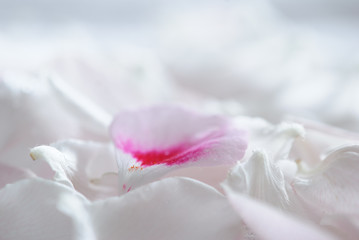 Gentle white flower petals macro background