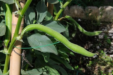 Reina Mora broad bean pod on plant © Arena PhotoUK