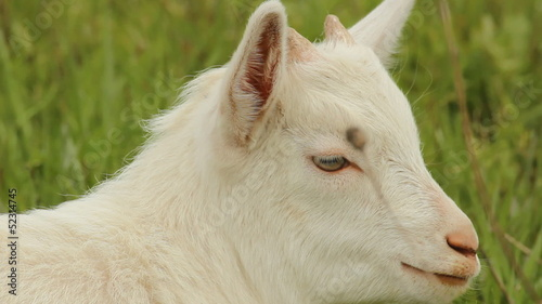 Small white goat grazing on a meadow
