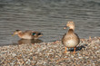 sunbathing female mallards