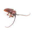 Coconut beetle isolated on white background