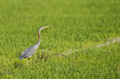 A red heron on the green grass background