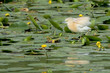 An orange egret while hunting on swamp background