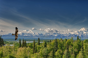 A kite eagle osprey on the Alaska deep blue sky background