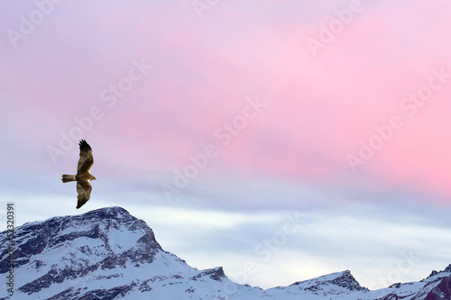 A kite eagle osprey on the sunset mountain pink sky background