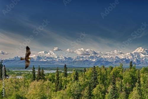 A kite eagle osprey on the Alaska deep blue sky background