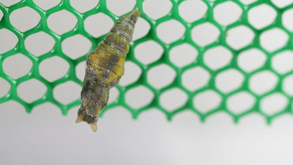 Mormon Butterfly emerging from pupa