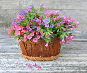Flowering Lungwort (Pulmonaria) in a basket