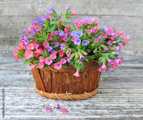 Flowering Lungwort (Pulmonaria) in a basket