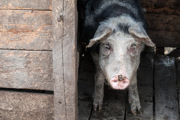Pig in stable at the farm
