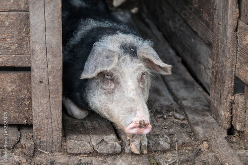 Pig resting in stable at the farm