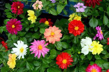 Цветы - однолетние георгины, рассада