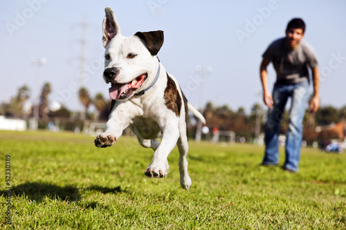 Mid-Air Running Pitbull Dog