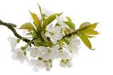 Kirschblüten - 52331716