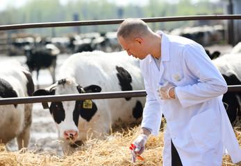 male cow veterinarian at   farm takes analyzes