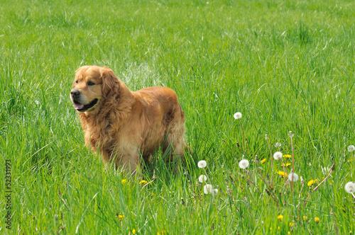 golden retriever dans une prairie