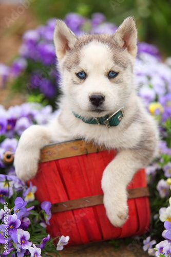 Siberian Husky Puppy in Basket