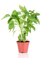 Pepper seedlings in flowerpot isolated on white