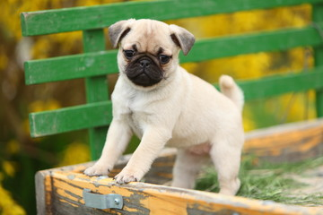 Pug Puppy Standing on Wagon