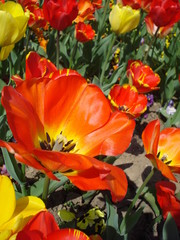 Warm colors tulips