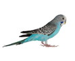 budgerigar isolated on white, (Melopsittacus undulatus)