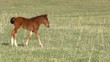 Little foal walking on green spring meadow. Slow Motion 240 fps