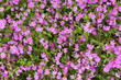 natural herbal background small pink flowers