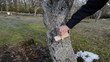 man whitening apple fruit tree trunk bark garden spring works
