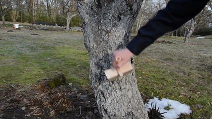 man whitening apple fruit tree trunk bark garden spring works