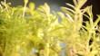 Plante aromatique Pianta aromatica Planta aromática