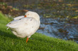 domestic goose on green grass