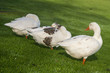 domestic geese resting on grassy meadow