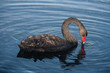 black swan searching for food