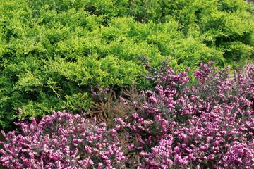 erica fiorita e Chamaecyparys filifera