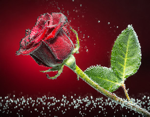 Rose close-up photo with carbon dioxide bubbles