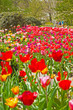 Colorful spring tulip garden with tourists in the background. Ke