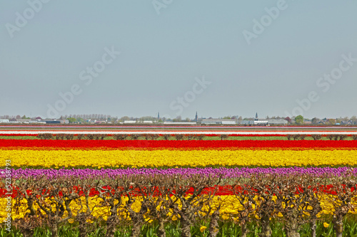 Field of colorful tulip flowers. Lisse. The Netherlands.