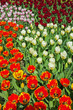 Tulips with different colors in spring garden. Keukenhof. Lisse.