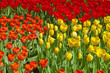 Yellow and red tulips in spring garden. Keukenhof. Lisse.
