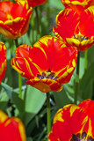 Close-up of red tulip in garden in spring. Keukenhof. Lisse.