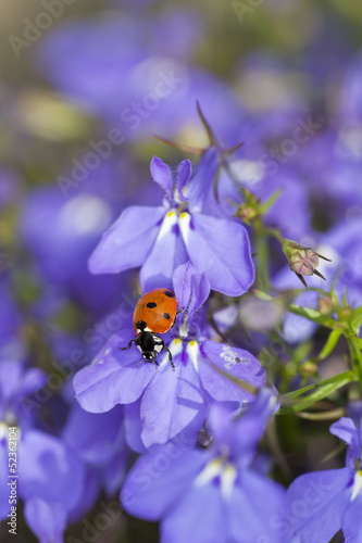 Ladybug on garden lobelia, beautiful summer photo