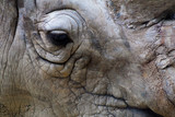 rhino close up