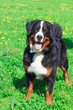 dog breed Bernese mountain standing and smiling