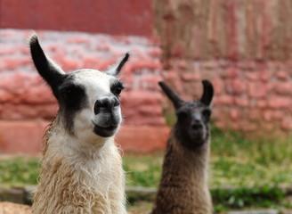 Bolivianische Lamas