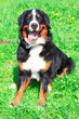 dog breed Bernese mountain sitting and smiling
