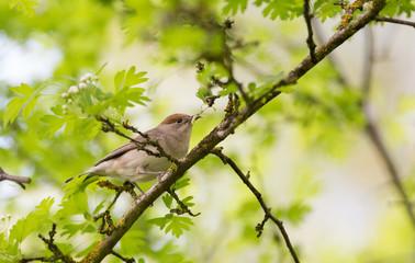 Oiseau Rossignol philomèle avec chenilles